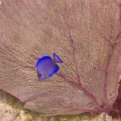 blue tang with sea fan